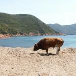 Byk - Girolata - Rezerwat Scandola - Zwierzęta - by Valerie Hukalo