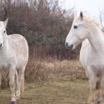 Białe dzikie konie by sjrowe53 (6)