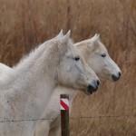 Białe konie by sjrowe53 (3)