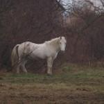 Biały koń by sjrowe53 (8)