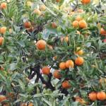 Drzewa pomarańczy w Nicei na południu Francji - by shinyai