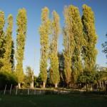 Takie drzewa łatwo spotać w Szampanii