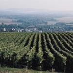 Pole winogron Szampania