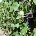 Francuskie winogrono z bliska - by Megan Mallen