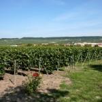Plantacja winogron we Francji - Szampania - by Megan Mallen