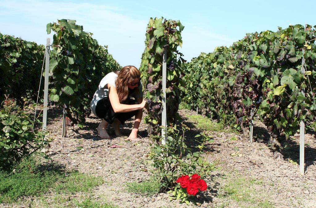Praca na plantacji winogron w Szampanii - by Megan Mallen