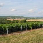 Winogrona rosnące na polach Szampanii