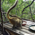 Małpy na wyspie Mojotta